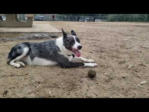 border-collies--the-most-intelligent-and-agile-dogs-in-the-world---the-smartest-dog-breed