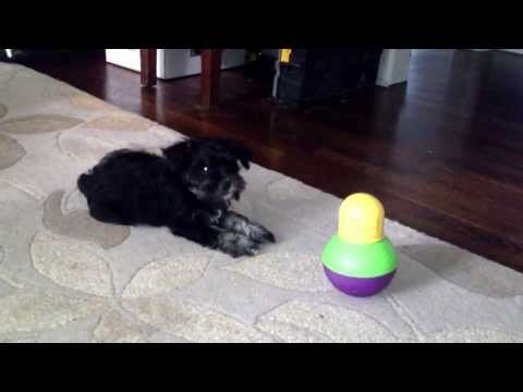 Tesla (the miniature schnauzer puppy) vs. The Treat...Thing