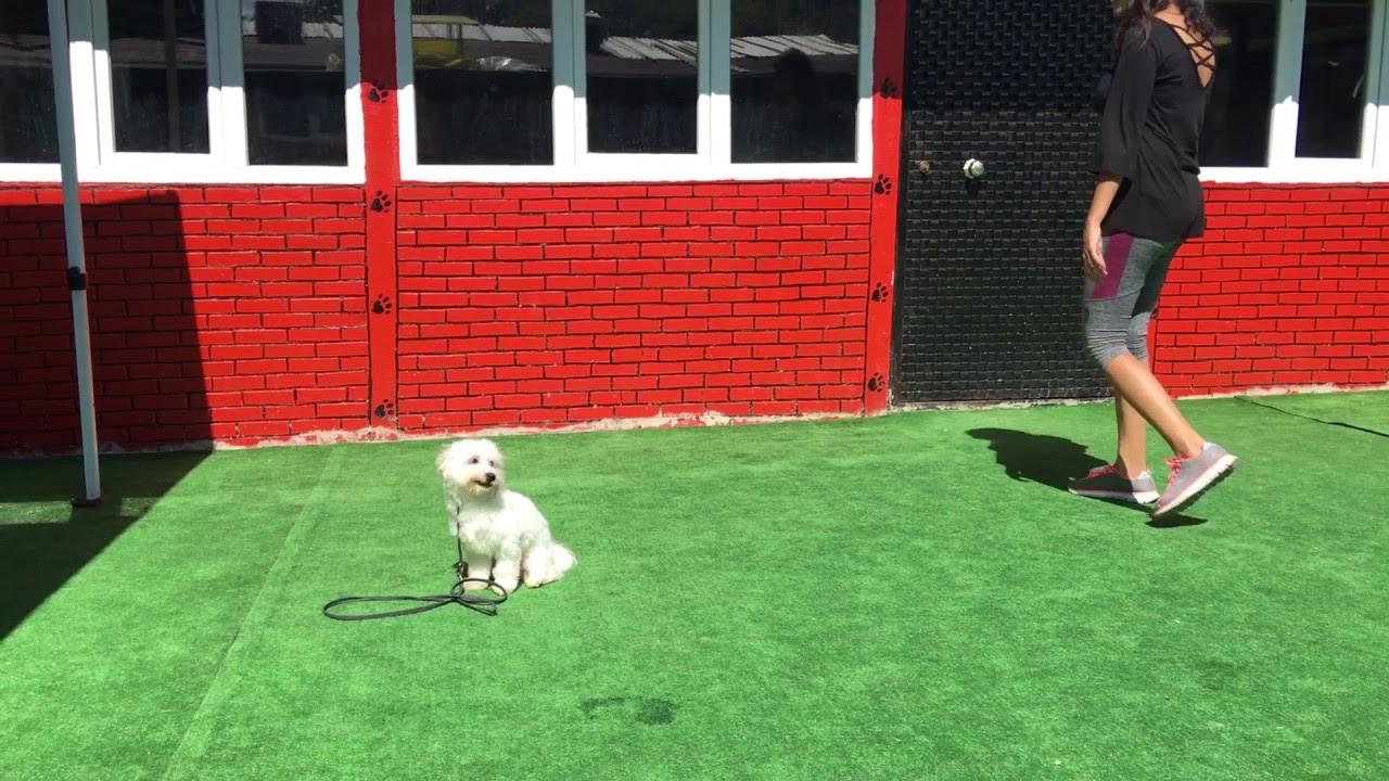 2.5 Aylık yavru Maltipoo köpeğimizi evinde eğittik. İzmir evde köpek eğitimi ile muhteşem sonuç.