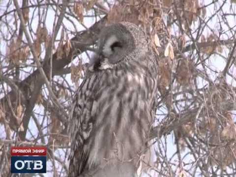 В Екатеринбурге поселилась дикая сова
