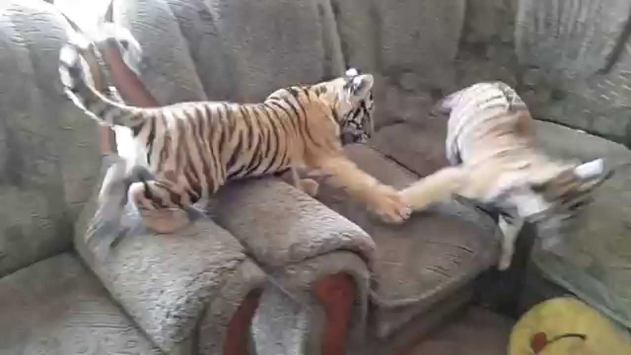 Tiger Cubs Playing In The House YouTube