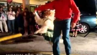 Golden Retriever Dancing Merengue