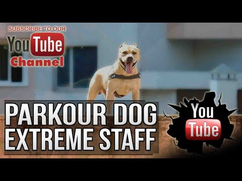 PARKOUR DOG! EXTREME STAFFORDSHIRE TERRIER!