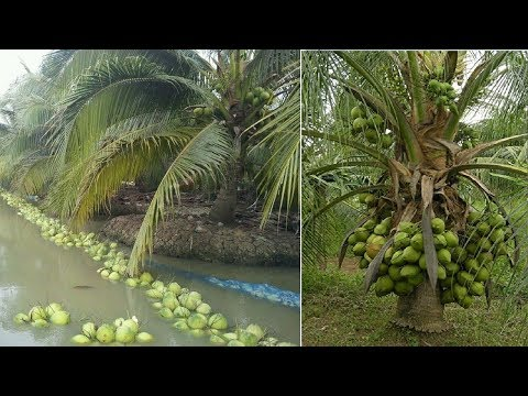 Amazing New Agriculture Technology - Coconut Farming & Harvesting Process