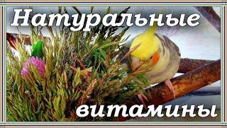 СПИСОК ДИКОРАСТУЩЕЙ ЗЕЛЕНИ ДЛЯ ПОПУГАЯ. Трава, зелень для попугаев. Чем кормить попугая.