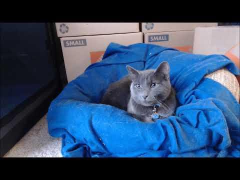 Manx Cat Sleeping Sweetly - 5+ Hours