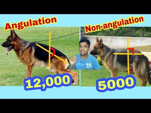 Angulation german shepherd price and difference.