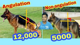 Angulation german shepherd price and difference