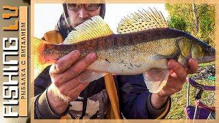 Ловля судака на донку в Октябре,  Золотая осень, Рыбалка на реке Лиелупе | zandartu cope Lielupē