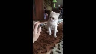 Рыжий кот атакует
