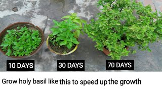 158. Grow / care Holy Basil plant this way to make it grow faster and Healthier.