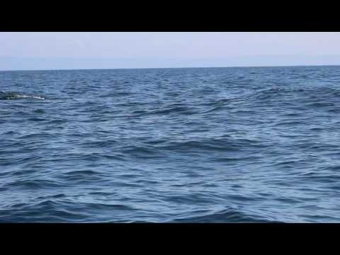 northern right whale Dolphins