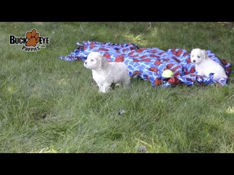 Bichon Frise - Cocker Spaniel Mix Puppies