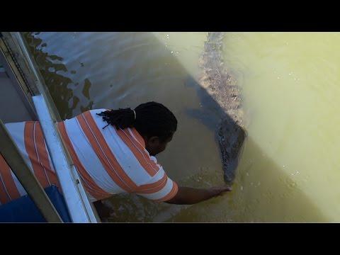 Jamaica, Crocodile in Black River on Safari River Boat Tour HD