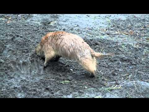 Prairiehond Bob aan het werk op het perk.mpg