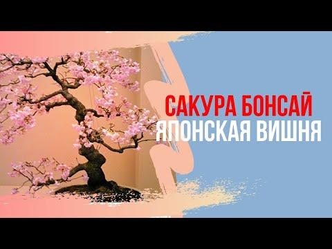 Японская вишня или бонсай из сакуры  Возможно ли?