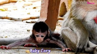 Baby monkey Cory very difficult to get hug and warm in chest -Pity baby meet suffering life in young