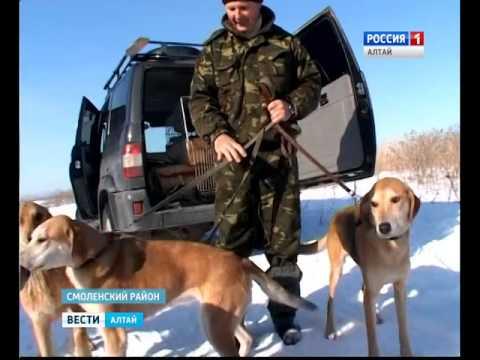 Старейший алтайский заводчик полвека разводит русских гончих