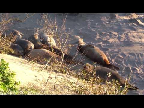 Baby Elephant Seals on Beach | Año Nuevo State Park | Pescadero, California | 4K 60fps