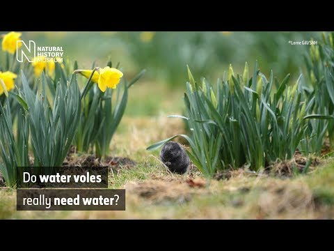 Do water voles really need water? | Natural History Museum