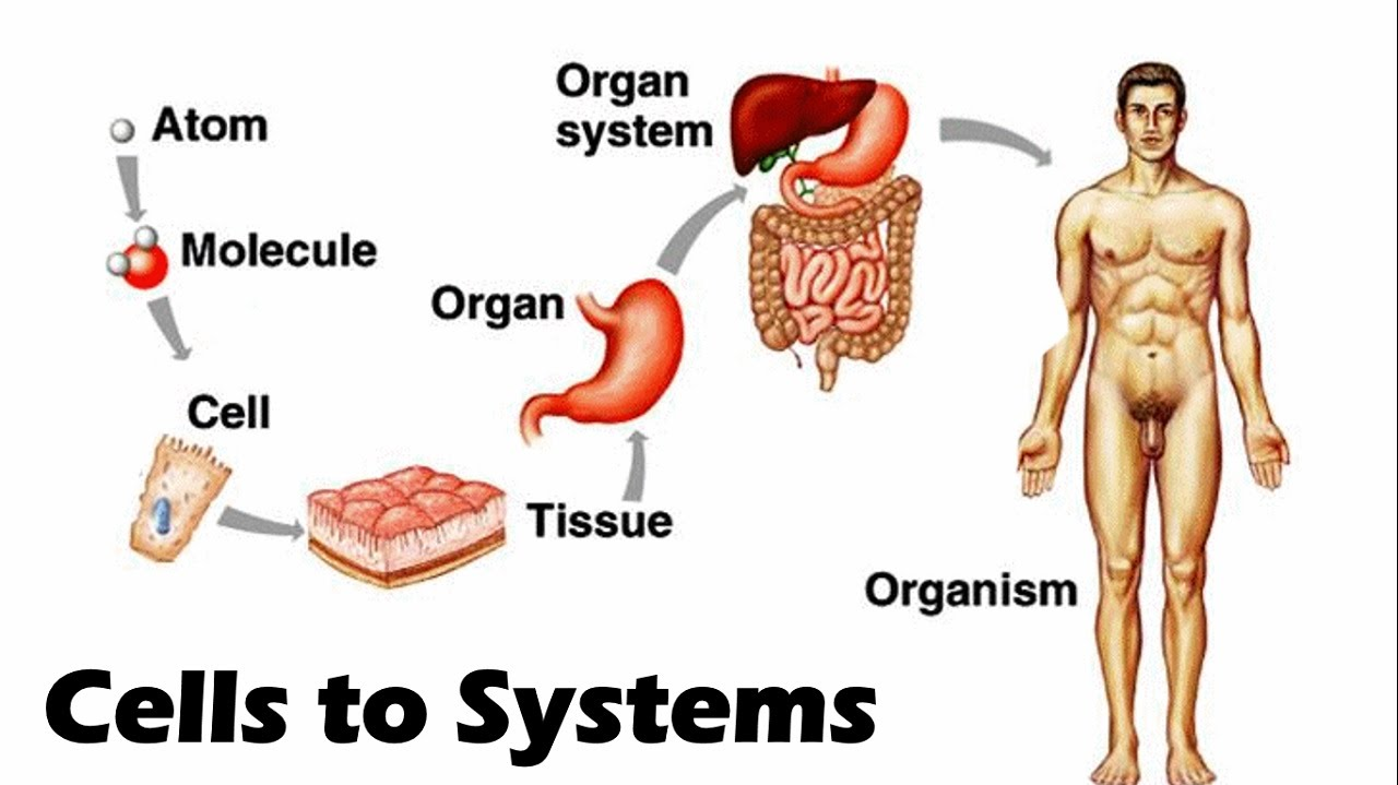 cell tissue organ system Multicellular organisms have a hierarchical structural organisation of cells,  tissues, organs and systems • use examples from plants and.