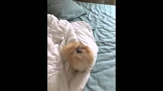 Pomeranian Sneezing