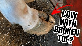 🔴BROKEN TOE COW GETS TREATMENT!