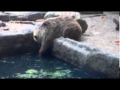 Ворона упала в пруд к медведю. Медведь удивил всех
