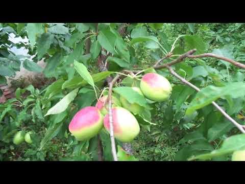 Яблоки круглый год. Плодовый конвейер(Мельба,Кандиль,Превосходное)