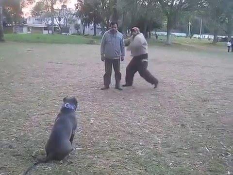dressage pitbull