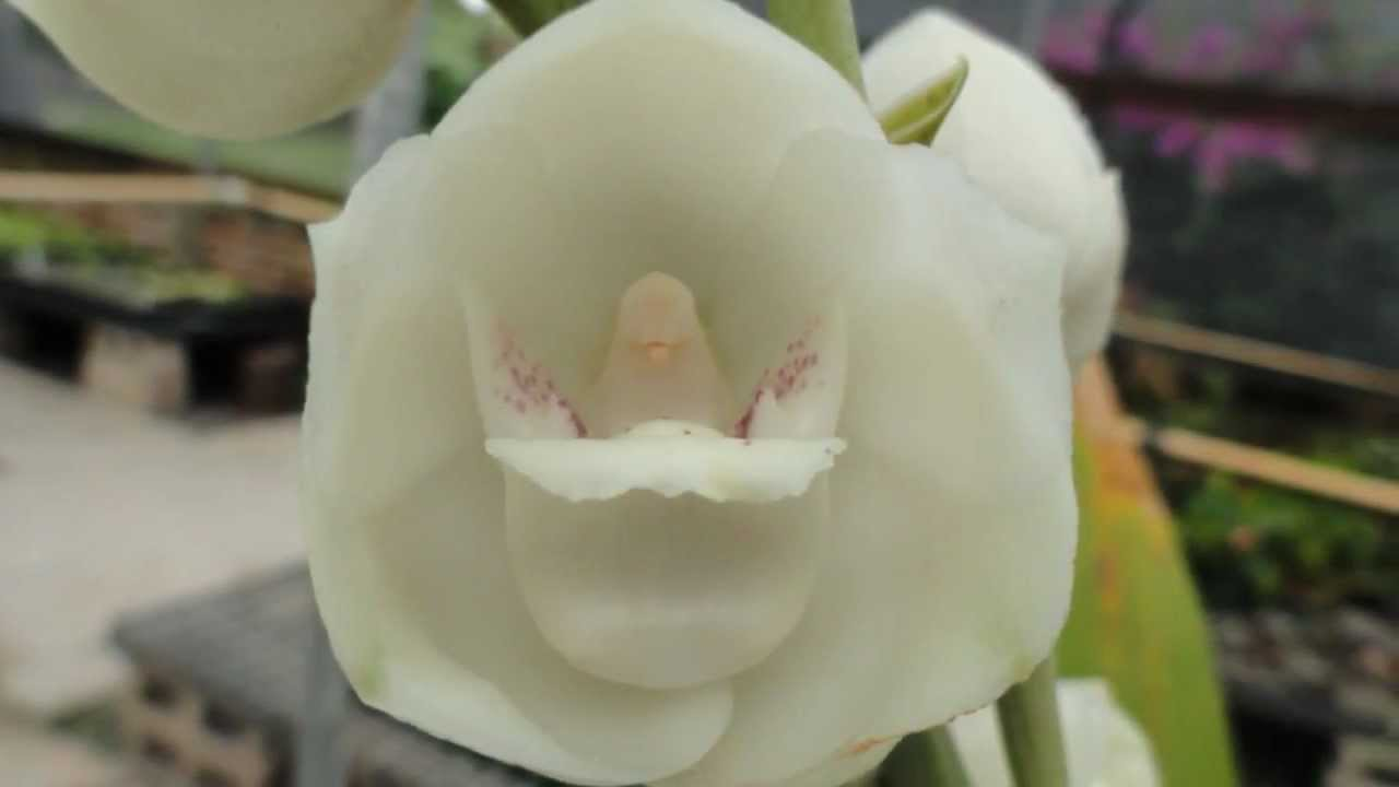 Flor del Espíritu Santo en Zamorano. - YouTube