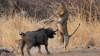 wild bull vs lion hunting the bull won the fight