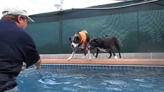 Boxer Bella & Boston Terrier Mix Roxie Compete For The Ball By The Swimming Pool
