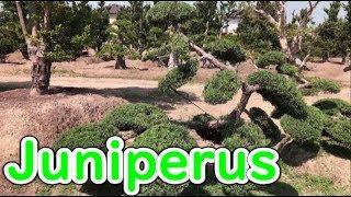 【Juniperus】pruning to Juniperus  bonsai【Garden trees】 thumbnail