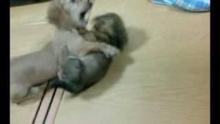 子犬同士のミニチュアダックスの兄弟ケンカ(兄弟じゃないけど)。
