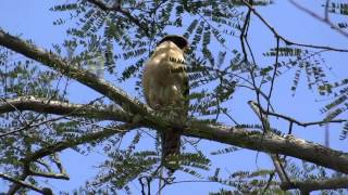 Herpetotheres cachinnans (Laughing falcon - Guaco o Halcón reídor) Video 02