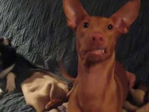 Harlow the smiling Pharaoh hound