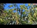 Pikat Burung Gereja Dengan Suara Pikat Dan Pulut Burung  Mp3 - Mp4 Download