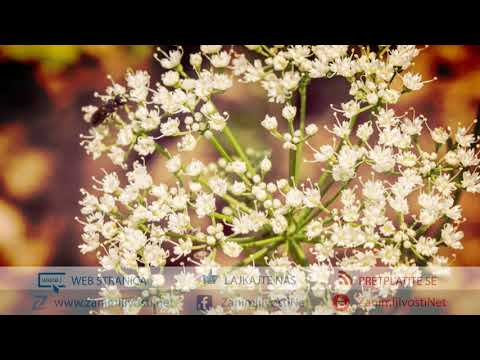 Anis (Pimpinella anisum) - Ljekovita svojstva from YouTube · Duration:  3 minutes 38 seconds