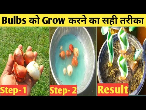 इस तरीके से उगायें Tulip के Bulb जल्दी आयेगें फूल..|| How To Grow Tulip In India