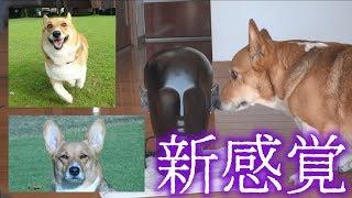 久しぶりの犬動画です。ダミーヘッドを使ってフローリングを歩く音、お...