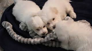 Coton Puppies For Sale - Ireland & Kaley - 6/2/21