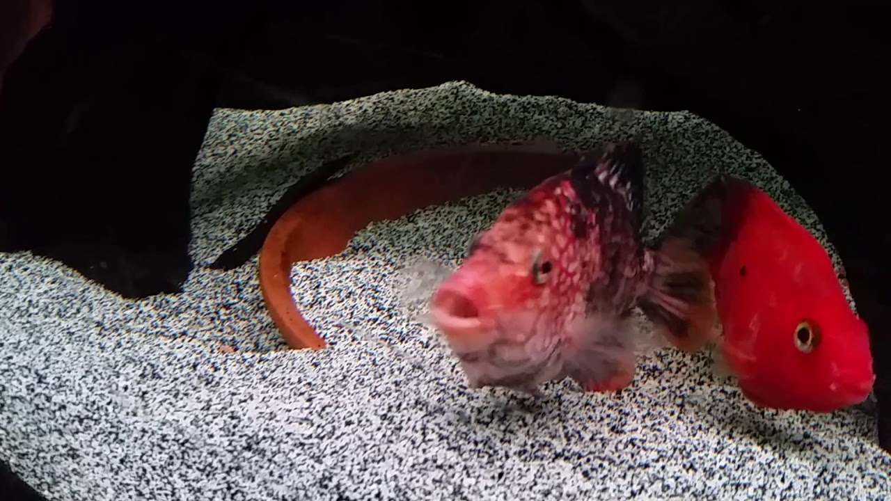 Super red texas cichlid - YouTube
