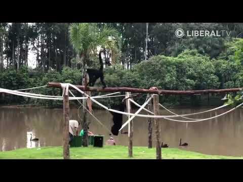Mais três macacos voltam para ilha no Parque Ecológico