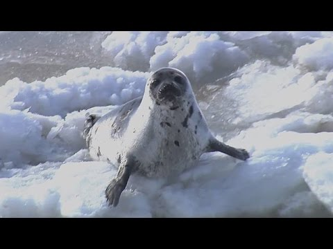 2015 Commercial Seal Hunt Continues - GRAPHIC FOOTAGE