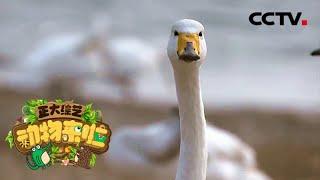 [正大综艺·动物来啦]当地的居民会用大天鹅吃剩的水生植物来做什么| CCTV