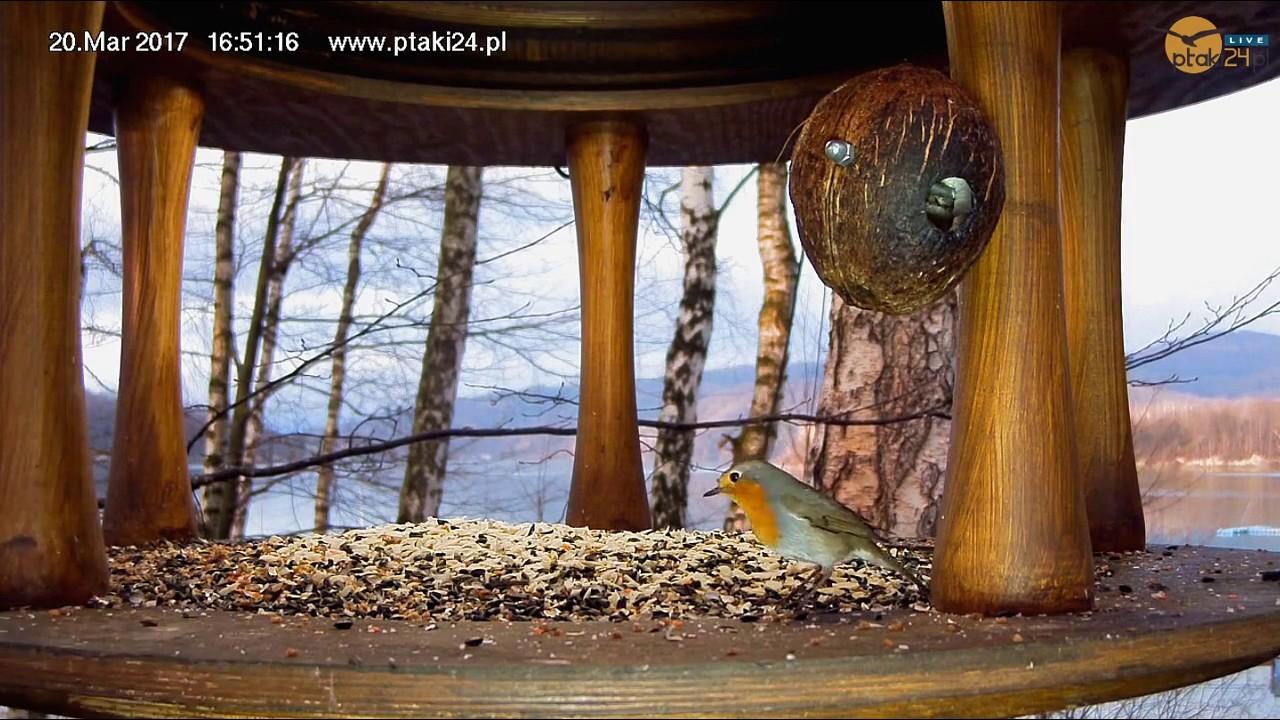 Rudzik w karmniku dla ptaków nad Soliną w Bieszczadach