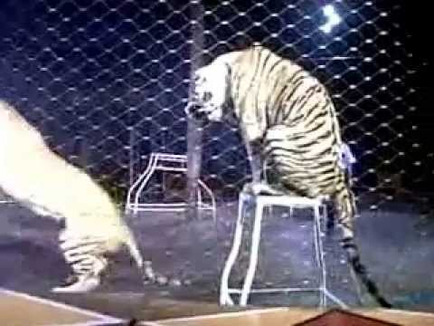 Bengal Tiger Oriental Circus  indonesia
