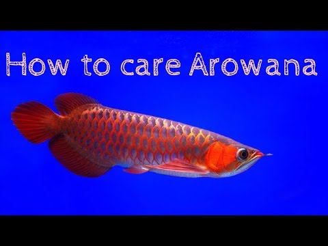 How To Care Arowana Fish L Basic Guide L Ultimate Pets Chanel