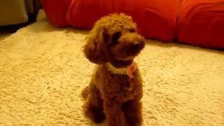 pet dogs funny videos 6年ぶりのできる芸全部はこちらhttps://youtu.be...